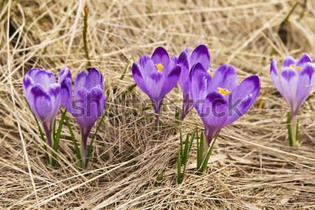 Foto stock: Açafrão · verde · prado · primavera · flor · grama