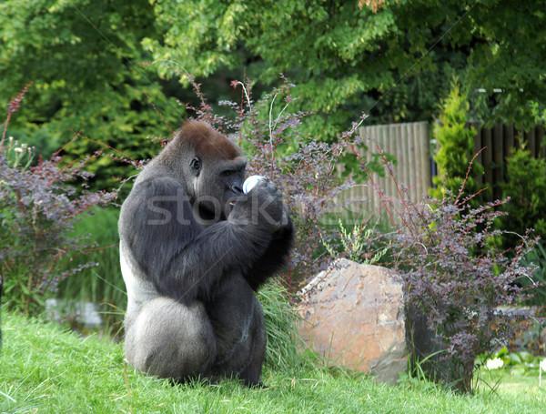 Gorilla Stock photo © pixelman