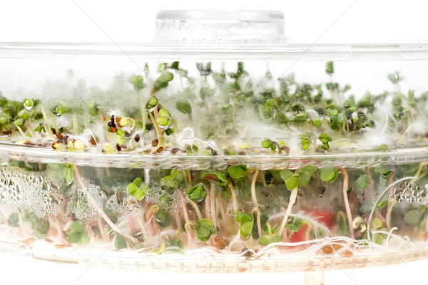 Close-up of a spicy daikon radish sprout Stock photo © pixelman