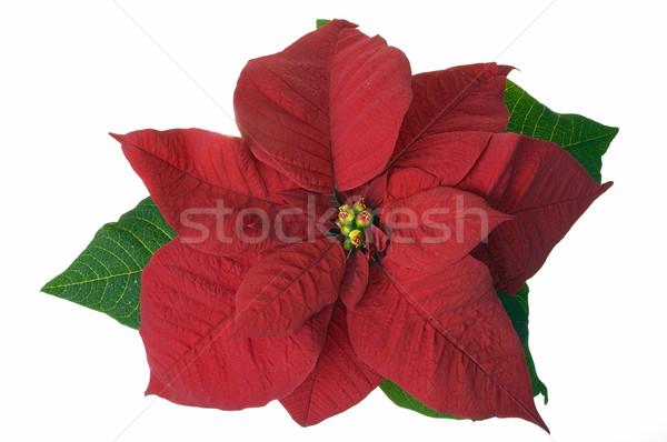Noel dekorasyon çiçek yalıtılmış arka plan yeşil Stok fotoğraf © pixelman