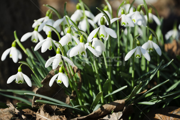Belle fleurs du printemps nature usine blanche fraîches Photo stock © pixelman