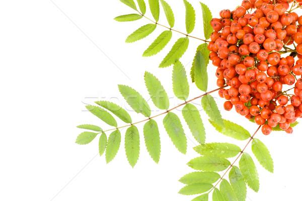 Fruto fundo verde chave vermelho planta Foto stock © pixelman