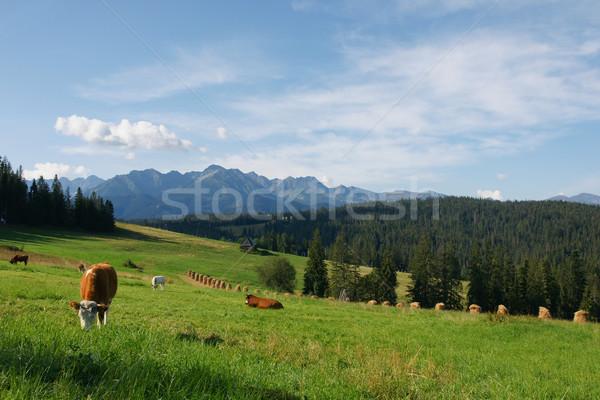 Stock fotó: Tehenek · hegy · tehén · kő · hegyek