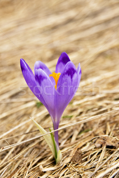 Solitaire crocus humide printemps prairie fleur Photo stock © pixelman