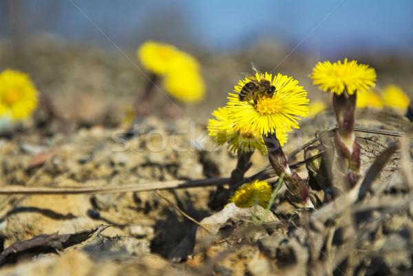Ilk bahar çiçekleri oturma arı bahar Stok fotoğraf © pixelman