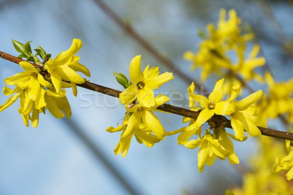 Belle printemps Bush fleurs jaunes fleur arbre Photo stock © pixelman