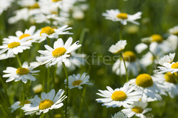 Spring in the group of camomile Stock photo © pixelman