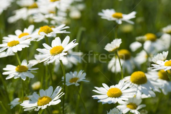 Frühling Gruppe Kamille Sommer grünen Anlage Stock foto © pixelman