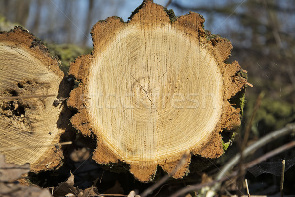 Cutting pine log with a symmetrical cross-section Stock photo © pixelman