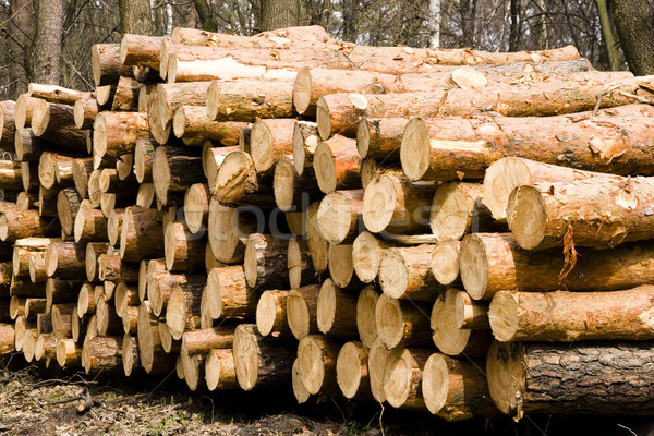 A pile of pine. Logs were stacked in the forest Stock photo © pixelman