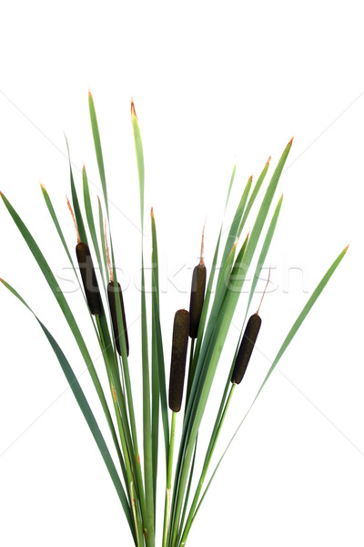Water cattails on a white background isolated Stock photo © pixelman