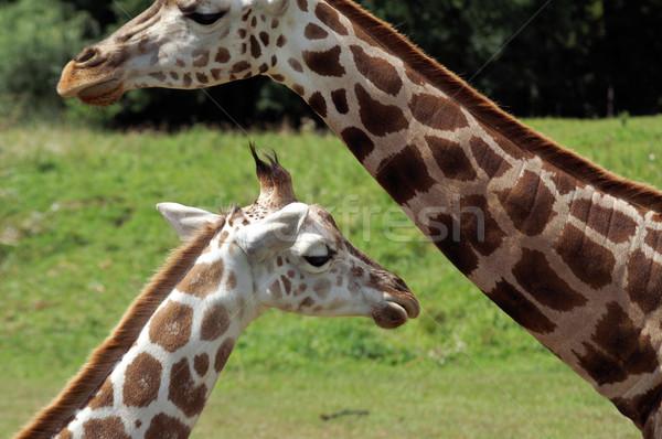 Zsiráf kettő zsiráfok nagy kicsi állatkert Stock fotó © pixelman
