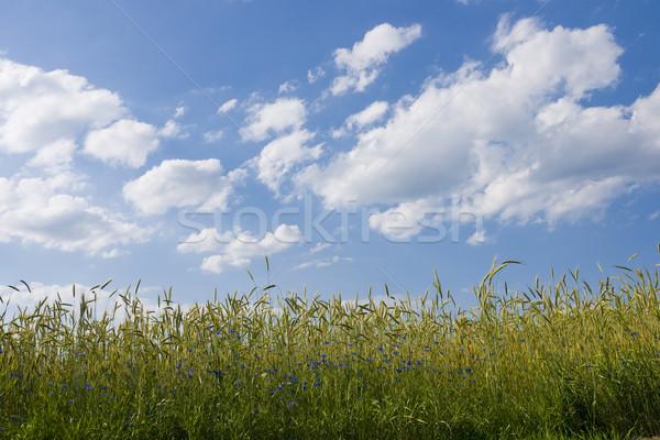 Rozs mező nyáridő virág tavasz háttér Stock fotó © pixelman