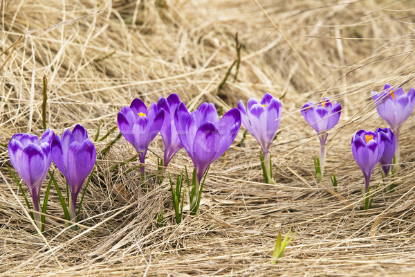 Açafrão prado primavera flor grama floresta Foto stock © pixelman