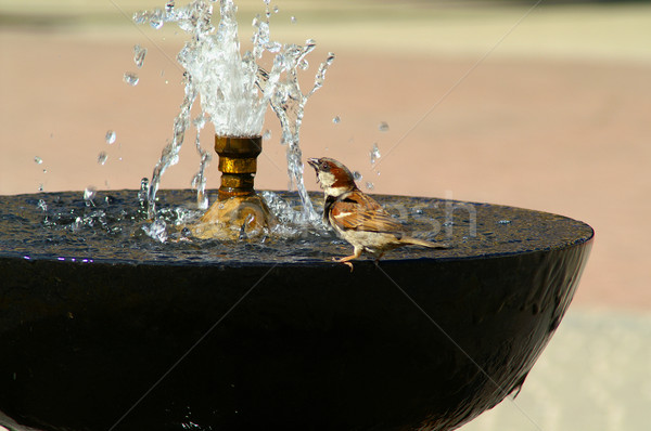 Sparrow is drinking water Stock photo © pixelman