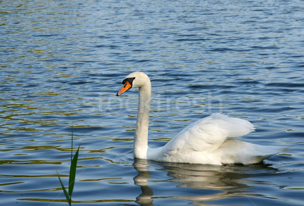 лебедя белый волны озеро воды птица Сток-фото © pixelman