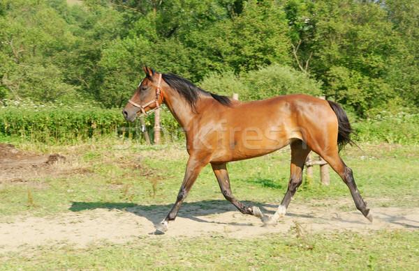 Chevaux belle brun cheval nature Photo stock © pixelman