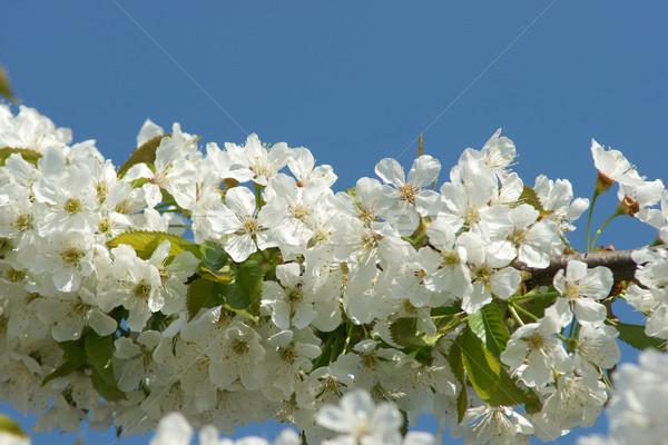 Flor árvore ramo primavera Foto stock © pixelman