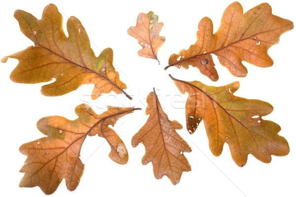 Automne chêne isolé blanche arbre nature Photo stock © pixelman