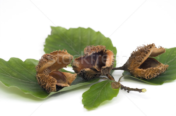 Twig of beechen with leafs over white Stock photo © pixelman