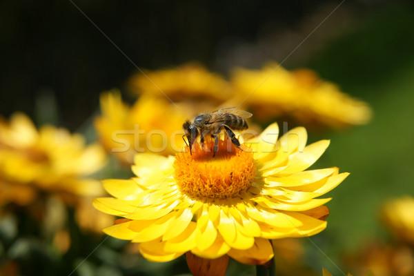 Biene gelbe Blume Sitzung Natur Stock foto © pixelman