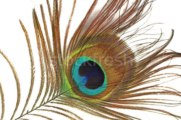Peacock feather Stock photo © pixelman