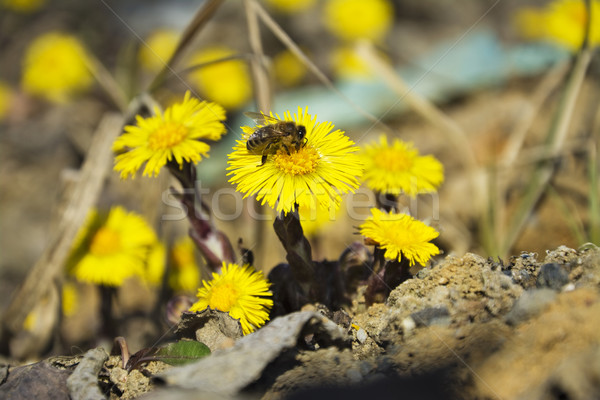 Coltsfoot, the first spring yellow flowers and bee Stock photo © pixelman