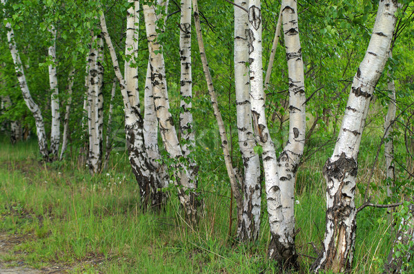 Birch Stock photo © pixelman
