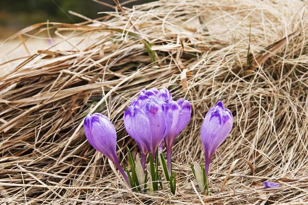 Açafrão prado primavera verde flor grama Foto stock © pixelman