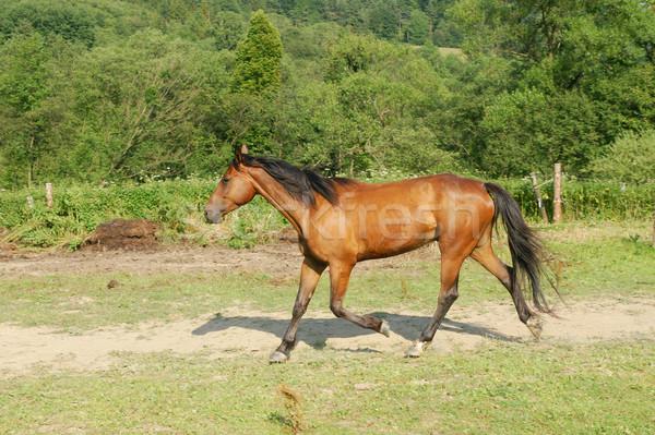 Caballo hermosa marrón caballos naturaleza Foto stock © pixelman