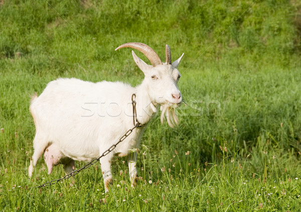 White goat on the pasture with green grass, chain hitched. Stock photo © pixelman