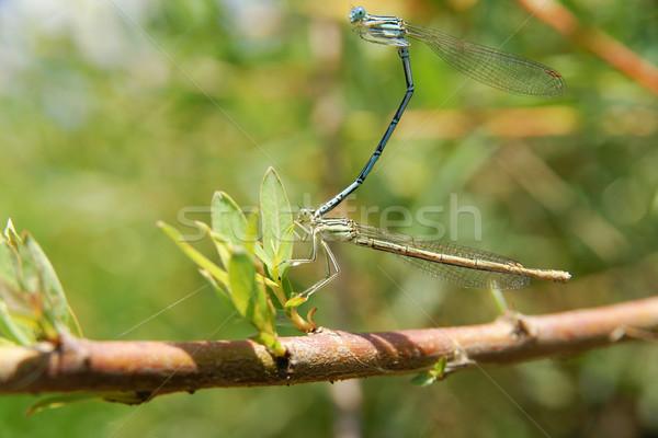 Dragonflies during the mating season. Stock photo © pixelman