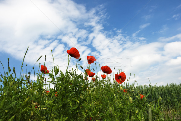 Kırmızı haşhaş Stok fotoğraf © pixelman