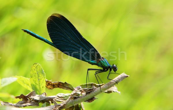Mavi yusufçuk oturma yaprak çim Stok fotoğraf © pixelman