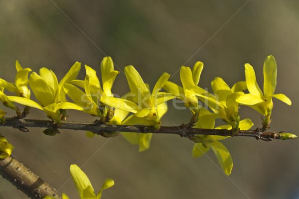Belo primavera arbusto flores amarelas flor árvore Foto stock © pixelman