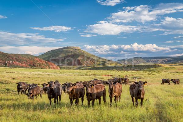 Nyitva terjedelem szarvasmarha Colorado hegyek északi Stock fotó © PixelsAway
