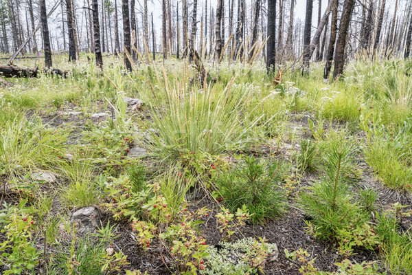 forest recovering after wildfire Stock photo © PixelsAway