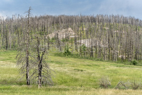 Górskich lasu wildfire starych kwiaty drogowego Zdjęcia stock © PixelsAway