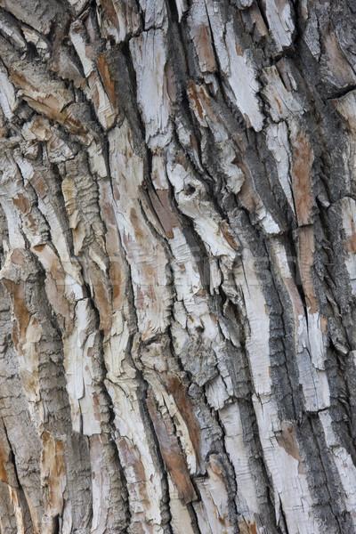 texture of old cottonwood tree Stock photo © PixelsAway