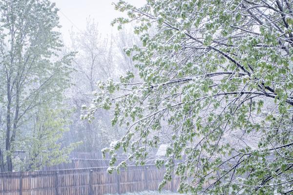 Tavasz udvar jelenet északi juhar fa Stock fotó © PixelsAway