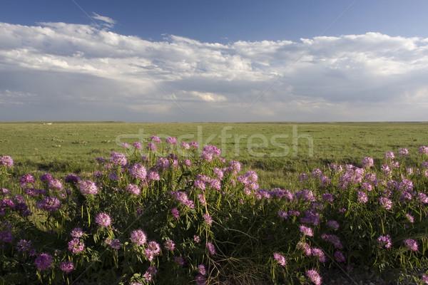 Kort gras prairie Colorado paars Stockfoto © PixelsAway