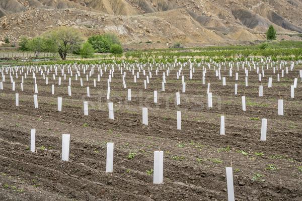 Perzik jonge boom boomgaard Stockfoto © PixelsAway