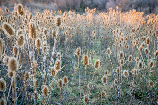 dry thistle field at fall sunset Stock photo © PixelsAway