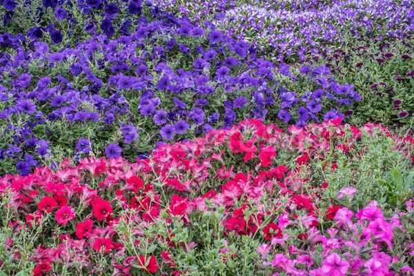 background of petunia flowers Stock photo © PixelsAway