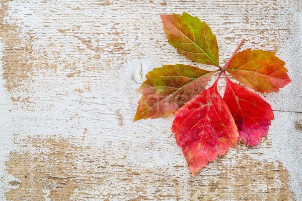 vine leaf in fall colors against wood Stock photo © PixelsAway