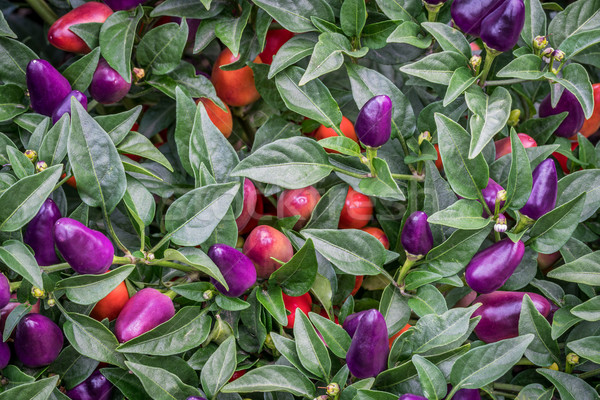 hot loco pepper in garden Stock photo © PixelsAway