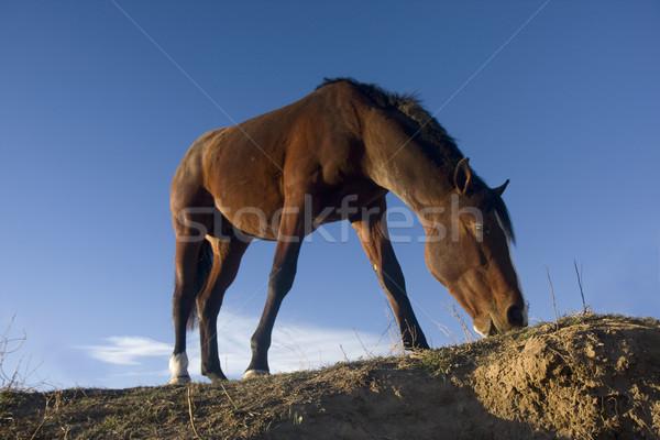 Stock fotó: Fiatal · ló · testtartás · alulról · fotózva · kilátás · kék · ég