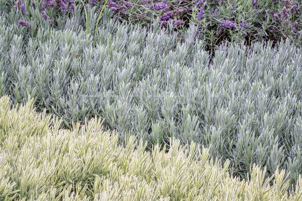lavandula (lavender) foliage background Stock photo © PixelsAway