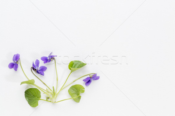 fresh viola flowers on art canvas Stock photo © PixelsAway