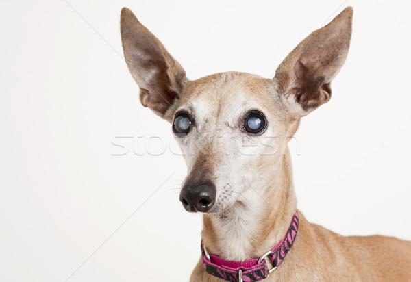 Oude hond oog portret blinde Stockfoto © PixelsAway